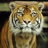btn_Sumatran-Tiger