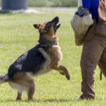 Easy ways to train a German shepherd