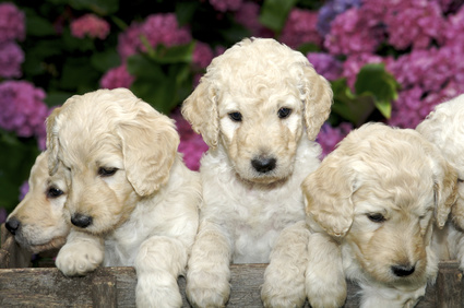 What is a Labradoodle?