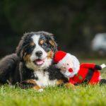 Purrfect Christmas Presents for Aussie Pets