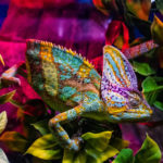 What you need to know before becoming the owner of a chameleon