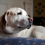 Can CBD Oil Help Dogs with Dementia and Seizures?